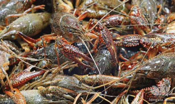 稻田小龙虾养殖应该水深多少合适?