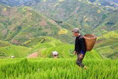 春节前水稻价格是否会上涨?