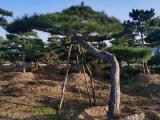 莱芜造型松在冬季发生根系腐烂的原因