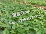 地瓜秧苗價格