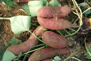 济薯26号地瓜秧苗