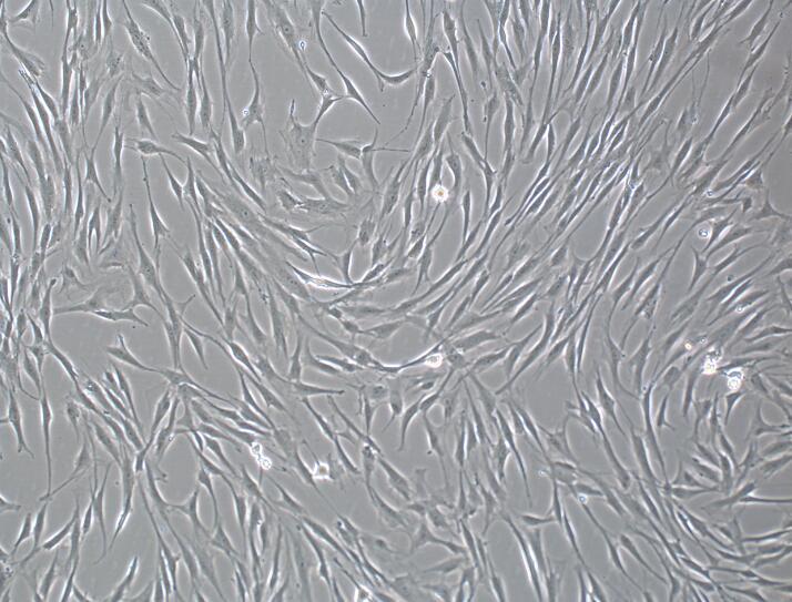 人脂肪间充质干细胞