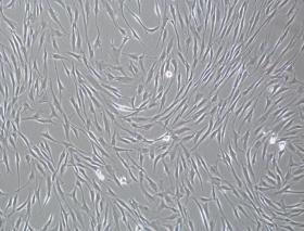 人间充质干细胞套装(含鉴定数据)