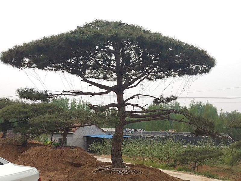 黑鬆造型樹