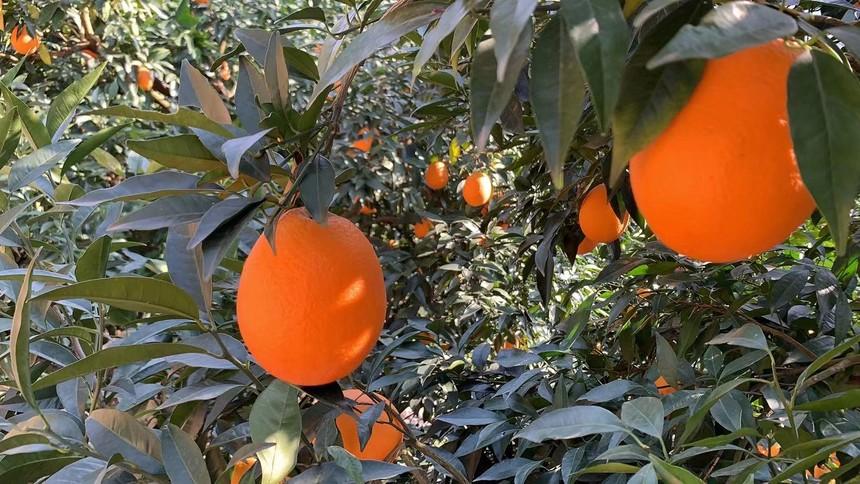 奉节脐橙5.jpg