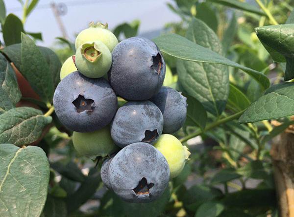 蓝莓熟了!天奉观光采摘园进入采摘季.png