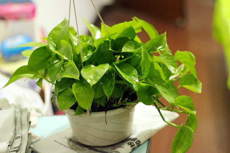 附图:植物除甲醛