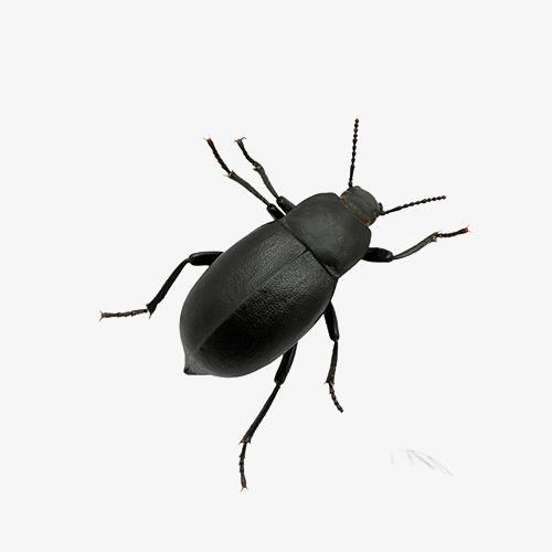 中华婪步甲虫.jpg