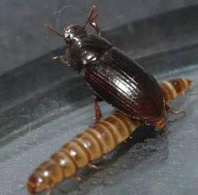 黑甲虫.jpg