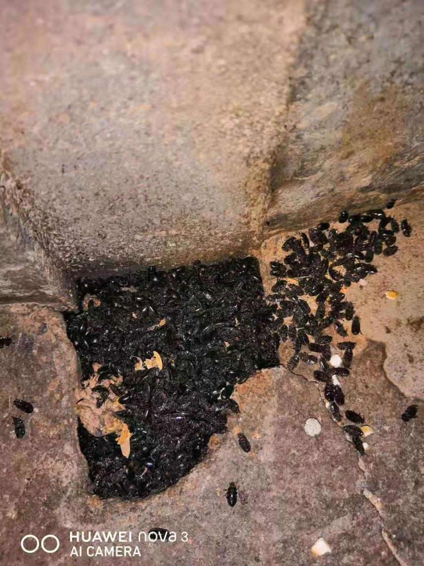鸡场黑甲虫2.png