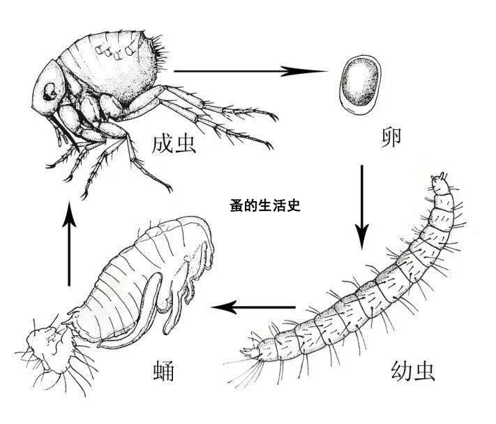 蚤生活史.jpg