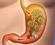 胃作为收藏和消化食物