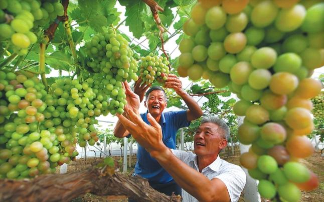 葡萄喜丰收