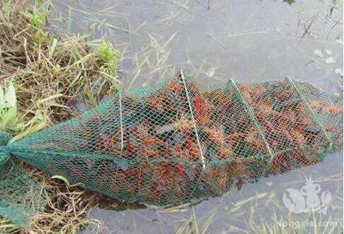 现在龙虾生长高峰,下几天地笼后需要再停几天?