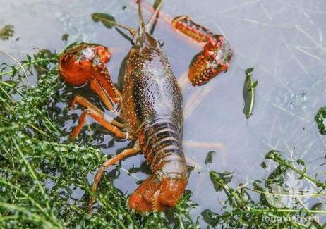 十月养殖关键期,小龙虾既难硬壳又有虫害!这些管理不可忽视...