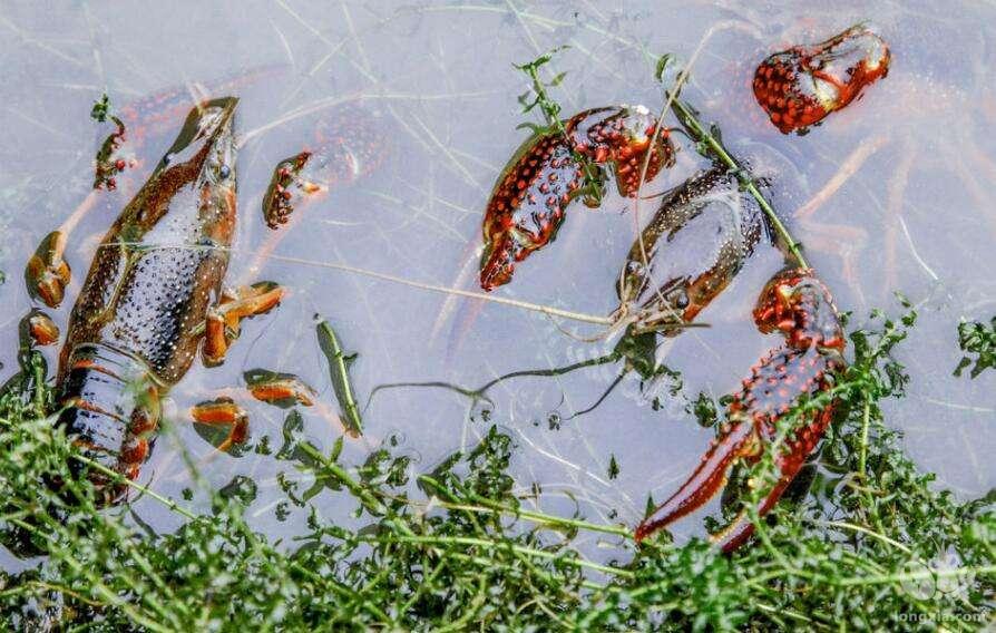 四川泸县稻虾共作发展迅猛