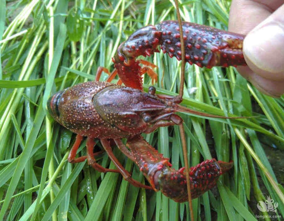 小龙虾如何更好的养殖
