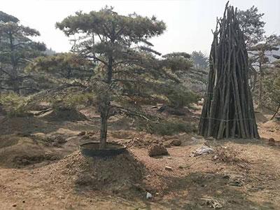 泰山景松基地