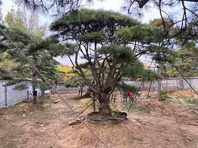 泰山景松園林