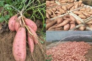山东紫薯苗
