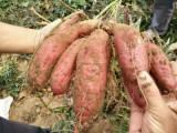 地瓜秧苗价格