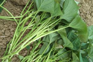 商薯19地瓜秧苗