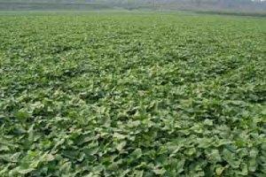 地瓜秧苗基地