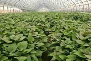 紫薯苗基地