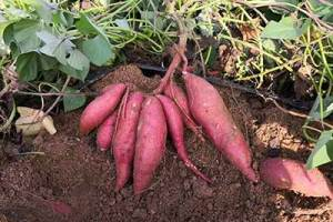 济南红薯苗