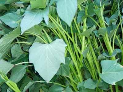 地瓜秧苗批发