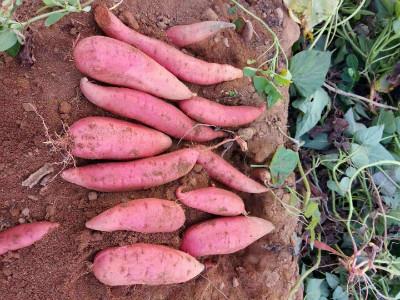 紫薯苗价格