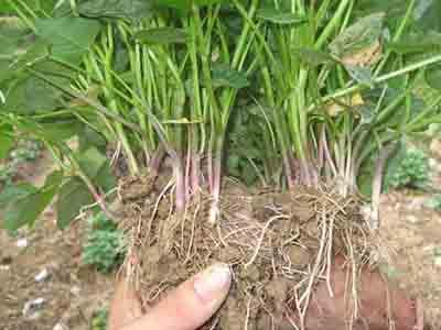 山东红薯苗