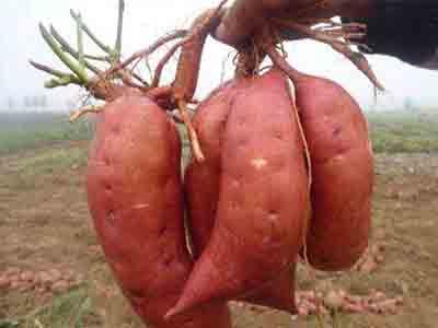山东地瓜秧苗