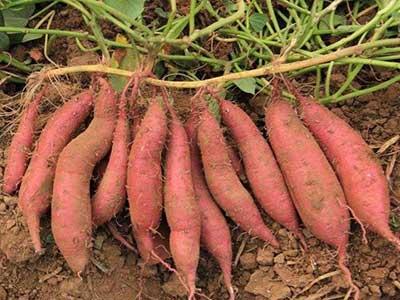 济南地瓜秧苗