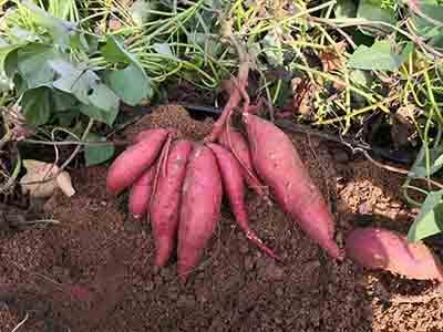 红薯苗批发