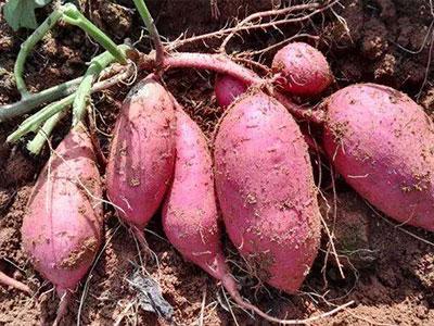 济薯25地瓜苗