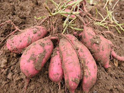 龙薯9号地瓜秧苗