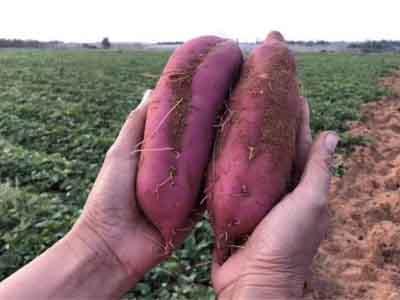 紫薯苗销售
