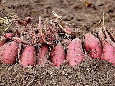 高产紫薯苗
