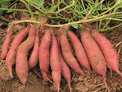 高产红薯苗