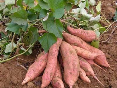 红薯种植基地