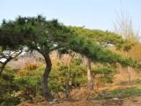 造型黑松在冬季修剪后要注意保养