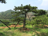 景观松种植过程中应特别注意的地方
