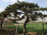造型油松幼苗冬季栽种的关键点