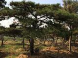 造型松基地是怎样给造型油松浇水的你知道吗