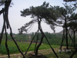 造型黑松反季节种植管理的注意事项