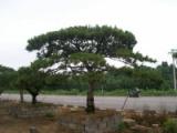 新春佳节,莱芜造型油松如何正常越冬