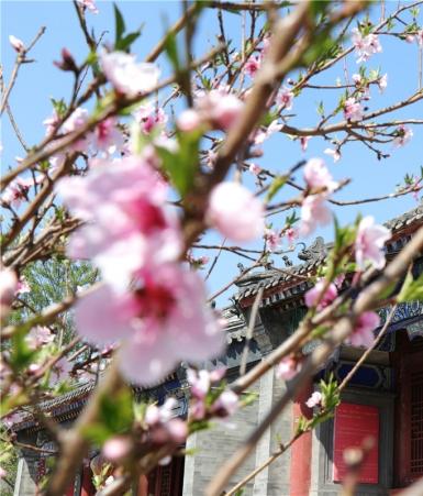 涿州三义宫:桃花含笑正当时