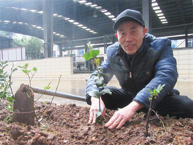 吴祖溪正在市门球馆边的绿化带移栽自己培育的茶花树苗。.JPG