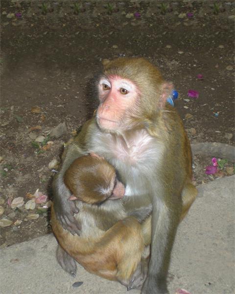 猴吃奶.JPG